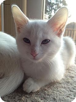 Domestic Shorthair Kitten for adoption in North Haven, Connecticut - Daniela