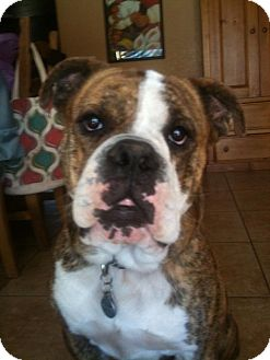 English Bulldog Dog for adoption in Phoenix, Arizona - Boscoe