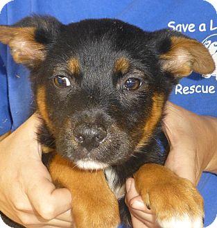 German Shepherd Dog/Golden Retriever Mix Puppy for adoption in Oviedo, Florida - Ike