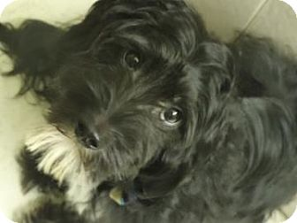 Poodle (Miniature) Mix Dog for adoption in Philadelphia, Pennsylvania - Prince Charles