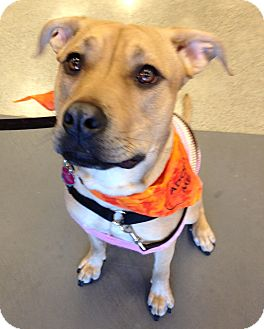 Labrador Retriever/Hound (Unknown Type) Mix Dog for adoption in Snohomish, Washington - Family Girl Mila! BFF To All!
