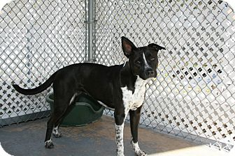 Pointer/Staffordshire Bull Terrier Mix Dog for adoption in San Antonio, Texas - October
