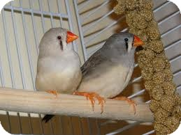Finch for adoption in Benbrook, Texas - Finches