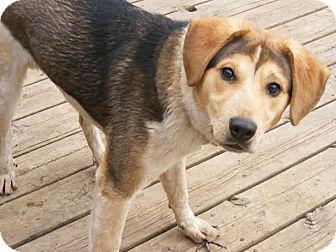 Beagle/Husky Mix Puppy for adoption in Toledo, Ohio - Teddy