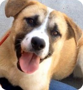 Australian Cattle Dog/St. Bernard Mix Dog for adoption in Los Angeles, California - BESSIE (video)