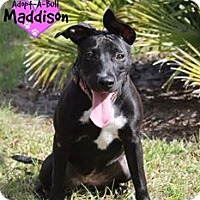 Adopt A Pet :: Maddison - Orlando, FL