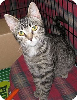 Domestic Shorthair Kitten for adoption in North Highlands, California - Pippsy