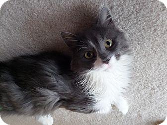 Domestic Mediumhair Cat for adoption in Cincinnati, Ohio - Sarabi
