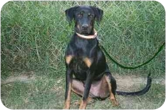 Black and Tan Coonhound Mix Dog for adoption in Muldrow, Oklahoma - CHANCE