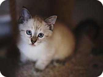 Siamese Kitten for adoption in Chicago, Illinois - Kaworu