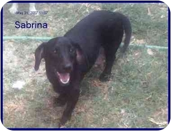 Dachshund Dog for adoption in Chiefland, Florida - Sabrina