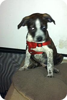 Boston Terrier/Australian Cattle Dog Mix Puppy for adoption in Baltimore, Maryland - Hunter