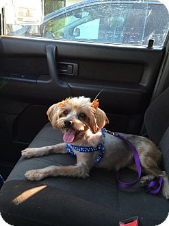 Yorkie, Yorkshire Terrier Dog for adoption in Los Angeles, California - (Princess) Leia