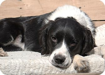 Border Collie/King Charles Spaniel Mix Dog for adoption in Howell, Michigan - Luci