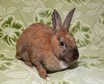 Cinnamon Mix for adoption in Chesterfield, Missouri - Spring