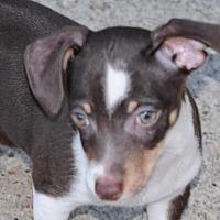 Chihuahua Puppy for adoption in Dallas, Texas - Bean