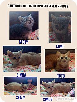 Domestic Shorthair Kitten for adoption in Hollister, California - I 5 Kittens