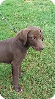 Australian Cattle Dog/Labrador Retriever Mix Puppy for adoption in Powder Springs, Georgia - Nelson