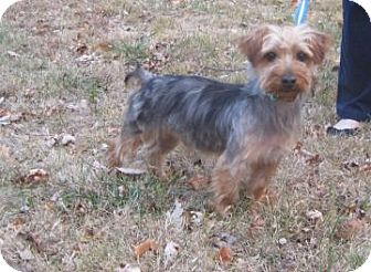 Yorkie, Yorkshire Terrier Dog for adoption in New palestine, Indiana - CHESTER