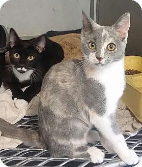 Calico Cat for adoption in Concord, Ohio - Paris and Pierre