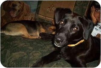 Beagle/Labrador Retriever Mix Dog for adoption in all of, Connecticut - Nana