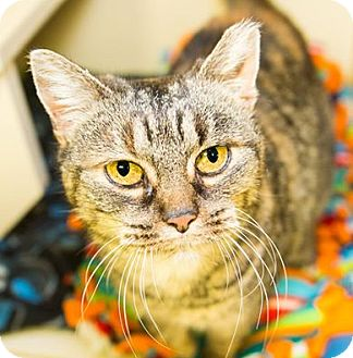 Domestic Shorthair Cat for adoption in Seville, Ohio - Chandler FEE WAIVED