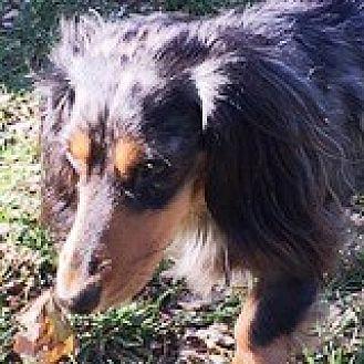 Dachshund Dog for adoption in Houston, Texas - Roscoe Russian