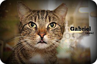 Domestic Shorthair Cat for adoption in Springfield, Pennsylvania - Gabriel