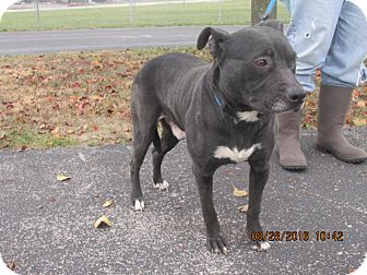 Pit Bull Terrier Mix Dog for adoption in Richfield, Wisconsin - Buster