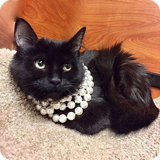 Domestic Longhair Kitten for adoption in Long Beach, New York - Midnight