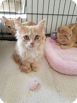 Domestic Mediumhair Cat for adoption in Fountain Hills, Arizona - Butter