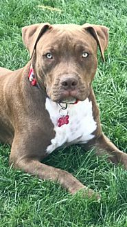 American Pit Bull Terrier Mix Dog for adoption in Peoria, Arizona - Joplin