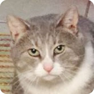 Domestic Shorthair Cat for adoption in Medford, Massachusetts - Hero