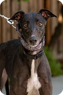 Greyhound Dog for adoption in Walnut Creek, California - Tiggy