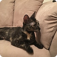 Adopt A Pet :: LadyMeowMeow - Dallas, TX