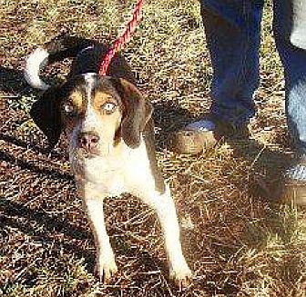 Beagle/Basset Hound Mix Dog for adoption in Stockport, Ohio - Joss