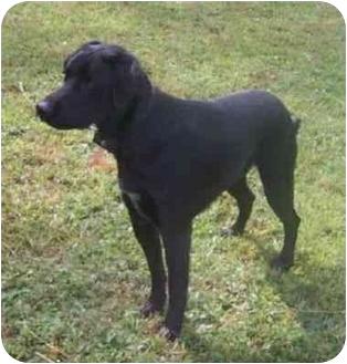 Labrador Retriever Mix Dog for adoption in Parkman, Ohio - Bailey