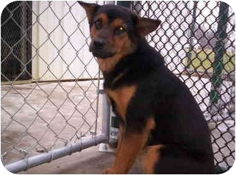 Terrier (Unknown Type, Small)/Shepherd (Unknown Type) Mix Dog for adoption in Olney, Illinois - Bat girl