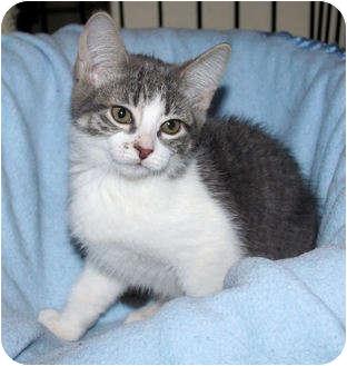 Domestic Shorthair Kitten for adoption in Edmonton, Alberta - Jewel