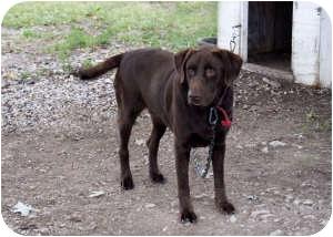 Labrador Retriever Mix Dog for adoption in Montgomery City, Missouri - Aiden