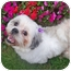 Photo 3 - Lhasa Apso Dog for adoption in Los Angeles, California - NELLIE