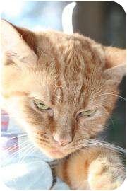 Domestic Shorthair Cat for adoption in Tucson, Arizona - Dena