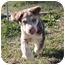 Photo 2 - Australian Shepherd Mix Puppy for adoption in Spring Valley, New York - Tango