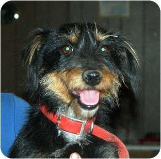 Dachshund Mix Dog for adoption in Glenpool, Oklahoma - Snuffy