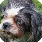 Shih Tzu Mix Dog for adoption in Eatontown, New Jersey - Sporty Spice