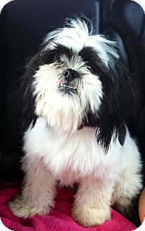 Shih Tzu Dog for adoption in ST LOUIS, Missouri - Sebastian