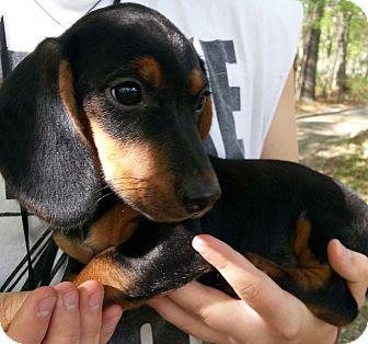 Dachshund/Beagle Mix Puppy for adoption in Scranton, Pennsylvania - CoCo (DC)