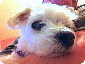Maltese Mix Dog for adoption in Los Angeles, California - Angie