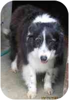Border Collie Mix Dog for adoption in Piedmont, Missouri - Suzie