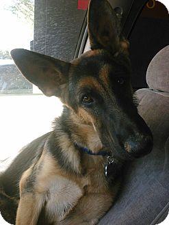 German Shepherd Dog Puppy for adoption in Chandler, Arizona - Giselle
